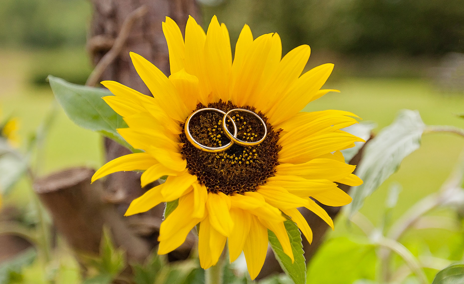 Gold wedding rings resting inside of sunflower